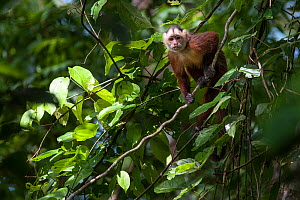 White-fronted Capuchin Monkey (Cebus albifrons) in forest canopy, Paujil Nature Reserve, Magdalena Valley, Colombia, South America.  -  Nick Garbutt