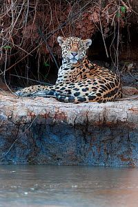 Jaguar (Panthera onca palustris) male resting on the banks of the Tres Irmaos River (Three Brothers River), a tributary of the Cuiaba River. Near Porto Jofre, northern Pantanal, Mato Grosso State, Bra...  -  Nick Garbutt