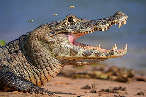 Yacare Caiman (Caiman yacare) gaping to regulate its body temperature, with attendant hoverflies, the Paraguay River, Taiama Reserve, western Pantanal, Brazil, South America.  -  Nick Garbutt