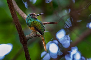 White-chinned Jacamar (Galbula tombacea tombacea), Bavaria Private Reserve near Villavicencio, lower eastern slopes of the Andes, Colombia, South America.  -  Nick Garbutt