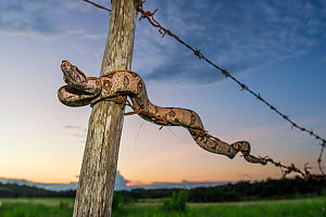 Juvenile Colombian Red-tailed Boa Constrictor (Boa constrictor constrictor) moving along a barbed wire fence. Unamas Reserve and Ranch, Los Llanos, Colombia, South America. - Nick Garbutt