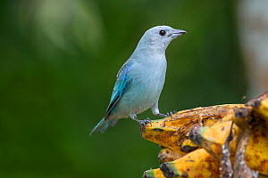 Blue-grey Tanager (Thraupis episcopus), Hato La Aurora Reserve, Los Llanos, Colombia, South America.  -  Nick Garbutt