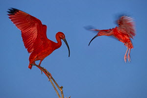 Scarlet Ibis (Eudocimus ruber) flying into roost sight at dusk, Hato La Aurora Reserve, Los Llanos, Colombia, South America.  -  Nick Garbutt