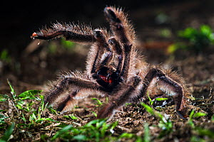 Colombian Pink-toed Tarantula (Avicularia metallica) in defensive posture, Paujil Nature Reserve, Magdalena Valley, Colombia, South America. - Nick Garbutt