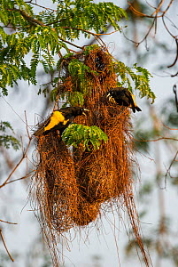 Yellow-rumped Caciques (Cacicus cela) at their nest in forest along the banks of the Cuiaba River, northern Pantanal, Mato Grosso State, Brazil, South America.  -  Nick Garbutt