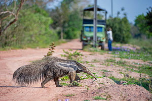 Adult Giant Anteater (Myrmecophaga tridactyla) crossing the Transpantaneira Highway. Northern Pantanal, Moto Grosso State, Brazil, South America. - Nick Garbutt