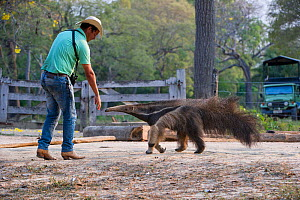 Adult Giant Anteater (Myrmecophaga tridactyla) with Pantaneiro Cowboy, Northern Pantanal, Mato Grosso State, Brazil, South America.  -  Nick Garbutt