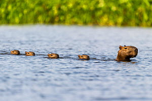 Female Capybara (Hydrochoerus hydrochaeris) swimming in line with young after escaping a Jaguar attack (Panthera onca palustris) in a lagoon off the Paraguay River. Taiama Ecological Reserve, Pantanal...  -  Nick Garbutt