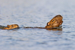 Female Capybara (Hydrochoerus hydrochaeris) swimming with young and alarm calling after escaping a Jaguar attack (Panthera onca palustris) in a lagoon off the Paraguay River, Taiama Ecological Reserve...  -  Nick Garbutt