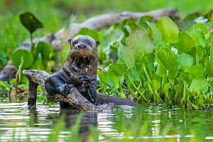 Giant Otter (Pteronura brasiliensis) holding onto a branch in a lagoon off the Paraguay River, Taiama Reserve, western Pantanal, Brazil, South America. - Nick Garbutt