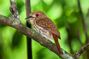 Barred Puffbird (Nystalus radiatus) perched in rainforest canopy, Rio Claro Reserve, Magdalena Valley, Colombia, South America.  -  Nick Garbutt