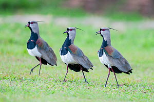 Male Southern Lapwings (Vanellus chilensis) displaying in grasslands, Chapada dos Guimaraes, Brazil, South America.  -  Nick Garbutt