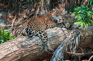 Female Jaguar (Panthera onca palustris) with cub (estimated age 5 months), resting on a fallen tree over the Cuiaba River. Porto Jofre, Northern Pantanal, Mato Grosso State, Brazil, South America. - Nick Garbutt