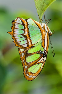 Malachite Butterfly (Siproeta stelenes) hanging upside down on leaf, forest near Napo River, Amazonia, Ecuador, South America. - Nick Garbutt