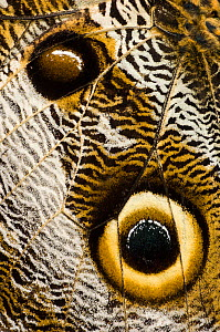 RF- Close up detail of eye spots on wing of Owl-eye butterfly (Caligo sp), Amazonia, Ecuador, South America. (This image may be licensed either as rights managed or royalty free.)  -  Nick Garbutt
