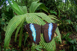 Blue Morpho Butterfly (Morpho sp) on leaf, Amazonia, Ecuador, South America.  -  Nick Garbutt