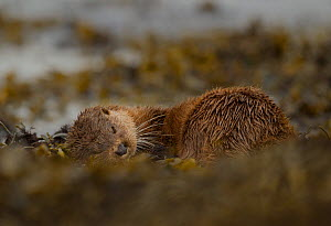 Otter (Lutra lutra) female rolling around in seaweed, Mull, Scotland, England, UK, September.  -  Paul Hobson