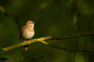 Nightingale (Luscinia megarhynchos) male, singing, Lincolnshire, England, UK, April. - Paul Hobson