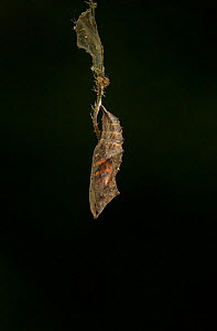 Small tortoishell butterfly (Aglais urticae) adult emerging from chrysalis, Sheffield, England, UK, August. Sequence 1 of 22.  -  Paul Hobson