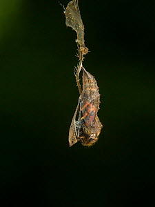 Small tortoishell butterfly (Aglais urticae) adult emerging from chrysalis, Sheffield, England, UK, August. Sequence 5 of 22.  -  Paul Hobson