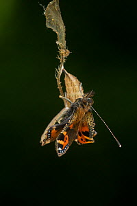Small tortoishell butterfly (Aglais urticae) adult emerging from chrysalis, Sheffield, England, UK, August. Sequence 17 of 22.  -  Paul Hobson
