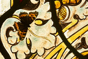 Small tortoishell butterfly (Aglais urticae) on a stained glass window  of church on a sunny day Sheffield, England, UK, January.  -  Paul Hobson