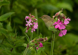 Willow warbler (Phyloscopus trochilus) perched on Red campion flowers, Wales, UK, April.  -  Paul Hobson