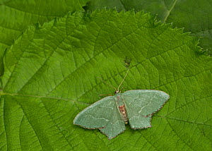 Common emerald moth (Hemithea aestivaria) at rest on leaf, Sheffield, England, UK, July.  -  Paul Hobson