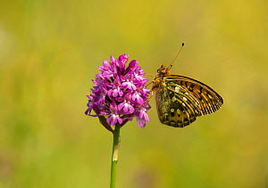 Dark-green fritillary butterfly (Argynnis aglaja) adult on pyramidal orchid, South Anstons, Sheffield, England, UK, July.  -  Paul Hobson