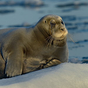 Bearded seal (Erignathus barbatus) resting on ice, Spitzberg, Svalbard, Norway, August. - Loic  Poidevin