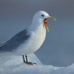 Black-legged kittiwake (Rissa tridactyla) with beak wide open. Spitzberg, Svalbard, Norway, August.  -  Loic  Poidevin