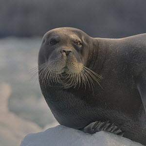 Bearded seal (Erignathus barbatus) portrait. Spitzberg, Svalbard, Norway, August 2014. - Loic  Poidevin