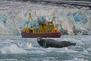 Bearded seal (Erignathus barbatus) hauled out on ice with boat beyond. Spitzberg, Svalbard, Norway, August 2014. - Loic  Poidevin