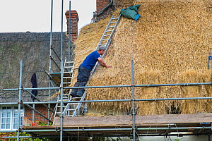 Thatcher re-roofing with wheat grass thatch, Wiltshire, UK, October 2014.  -  Gary  K. Smith