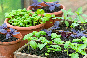 Basil varieties (Sweet, Purple and Thai Basil) growing in containers in greenhouse, England, July.  -  Gary  K. Smith