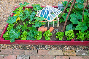 Courgettes, lettuce and cucumber growing in small raised bed with antique cloche, England, July.  -  Gary  K. Smith