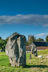 Standing stones and domestic sheep grazing, Avebury, Wiltshire, UK, October 2014. - Gary  K. Smith