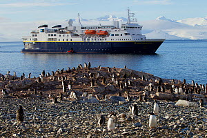 Gentoo penguin (Pygoscelis papua) colony in front of expedition ship 'National Geographic Explorer' at Cuverville Island, Ererra Channel, Gerlache Strait vicinity, Antarctica.  -  Tim  Laman