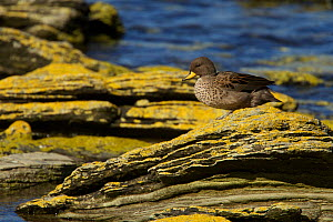 Speckled teal (Anas flavirostris) on rock, Carcass Island, Falkland Islands.  -  Tim  Laman