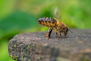 European honey bee (Apis mellifera) worker at hive entrance emitting Nasonov pheromone from abdominal gland and fanning wings to spread the scent to returning workers, Monmouthshire, Wales, UK. Septem... - Phil Savoie