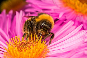 Close up of Buff-tailed Bumblebee (Bombus terrestris) feeding at a flower (Aster sp), Monmouthshire, Wales, UK. September. - Phil Savoie