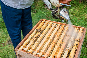 Beekeeper using a bee smoker to calm the European honey bees (Apis mellifera) before inspecting them, Monmouthshire, UK, Wales. September.  -  Phil Savoie