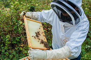 Beekeeper inspecting his European honey bees (Apis mellifera), Monmouthshire, UK, Wales. September.  -  Phil Savoie