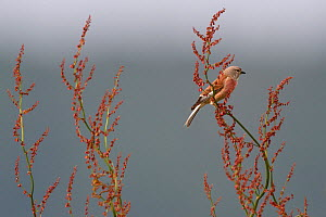 Common linnet (Carduelis cannabina) Vosges, France, May. - Fabrice  Cahez