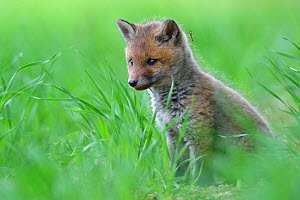 Red fox (Vulpes vulpes) cub with Crane fly (Tipula) on its head, Vosges, France, May.  -  Fabrice  Cahez