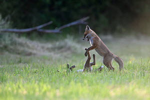 Red fox (Vulpes vulpes) cubs playing Vosges, France, June. - Fabrice  Cahez