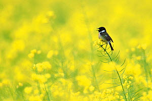 European stonechat (Saxicola rubicola) on Oilseed rape flowers, Vosges, France, May. - Fabrice  Cahez
