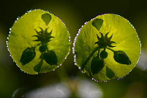 Euphorbia flower (Euphorbia amygdaloides) covered in morning dew, Vosges forest, France, May. - Fabrice  Cahez