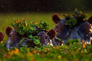 Hippopotamus (Hippopotamus amphibius) group submerged in water lettuce covered pool. Maasai Mara National Reserve, Kenya. - Anup Shah