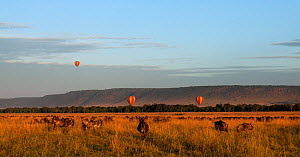 Eastern White-bearded Wildebeest (Connochaetes taurinus) herd feeding on the plains watched by tourists in hot air balloons (Connochates taurinus). Maasai Mara National Reserve, Kenya.  -  Anup Shah